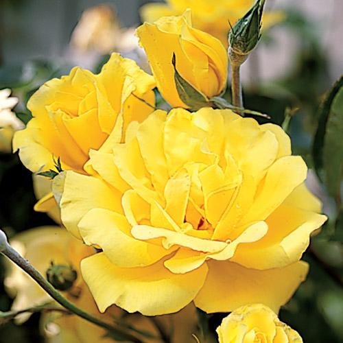 Rosa%20'Golden%20Showers'_enl[1]