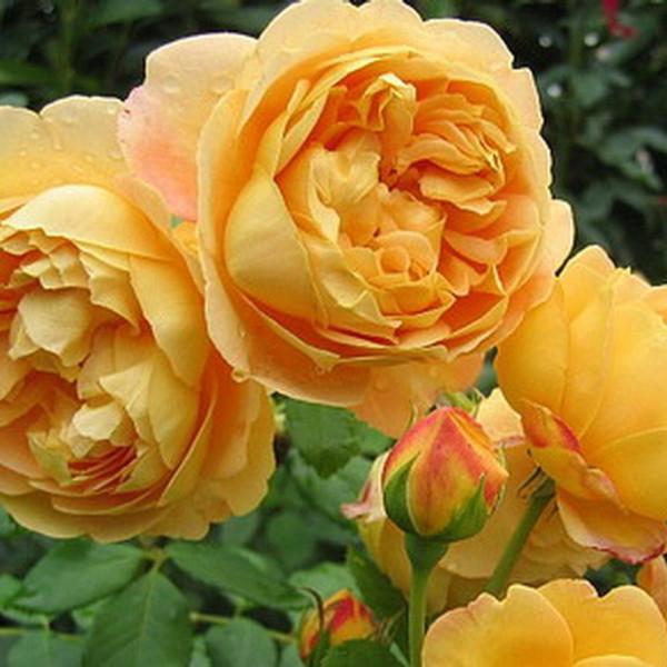 rosa_golden celebration_1