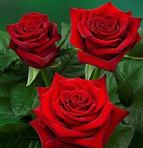 1697_roza-grande-amore