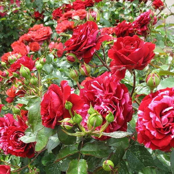 Роза-Deep-Impression-Роза-Дип-Импрешн1